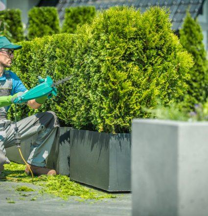 Thuja Shrub Trimming by Professional Gardener.